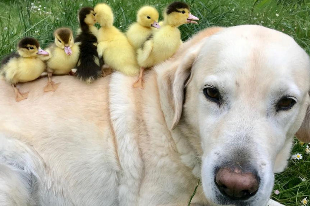 Labrador with adopted nine ducklings