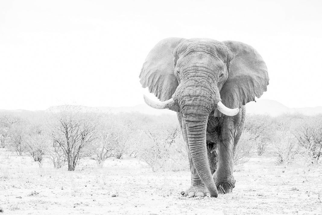Voortrekker, the iconic desert elephant is no more. Source: Elephant Human Relations Aid