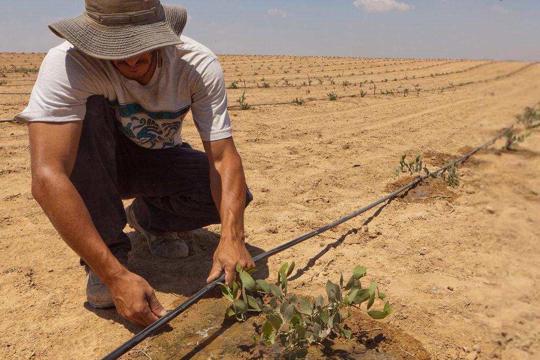 Drip irrigation being used in Israel. Avishai Finkelstein