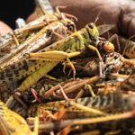East Africa locusts