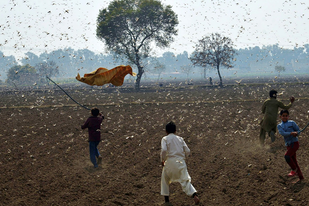 The Pakistani government is battling to contain a second wave of locust swarms from migrating across the entire country, amid the Covid-19 crisis