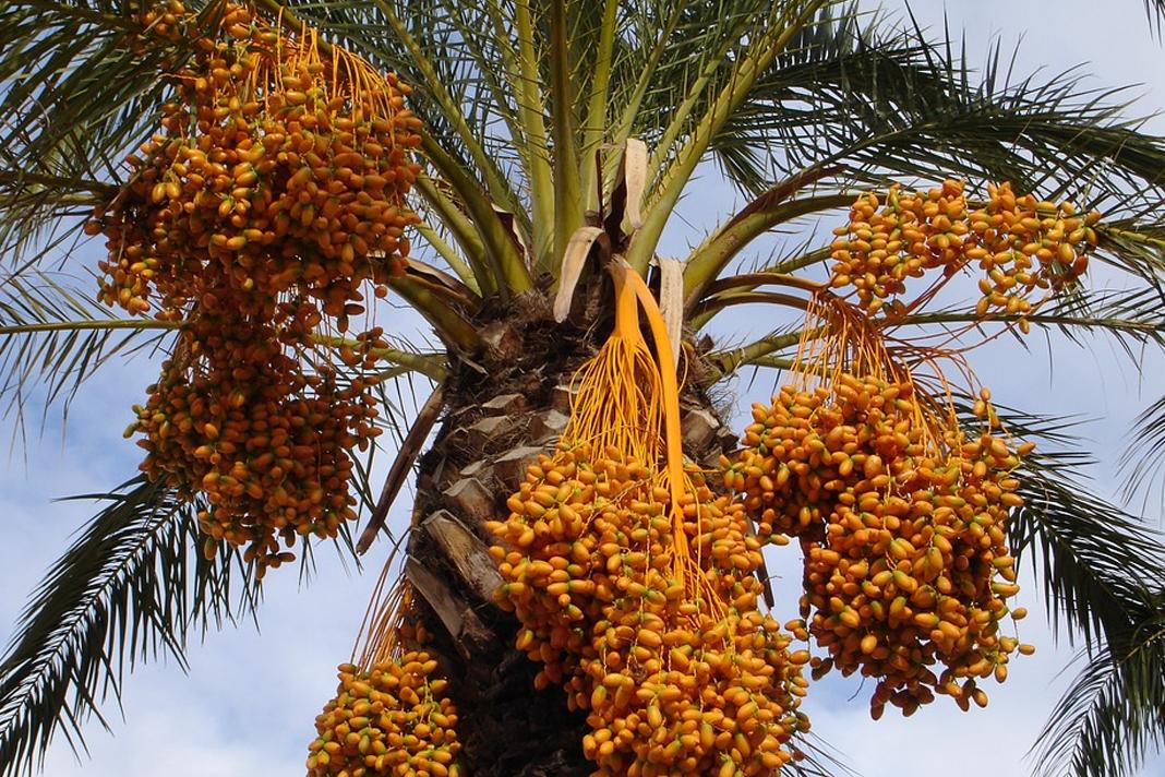 Judea date palm